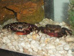 Do Hermit Crabs Shed by Faqs On Brackish Water Crabs Other Crustaceans