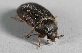 Carpet Weevil Pictures by Ask The Expert Black Carpet Beetles Horse Barns And Maggot