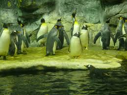 King and Gentoo penguins on display at the Moody Gardens aquarium