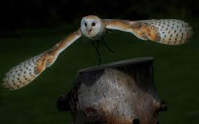 Rhodium Comes To Canada With Its Striking New Nocturnal By Nature ... Amazing Barn Owl Nocturnal Facts About Wild Animals Barn Owl By David Cooke For Sale The Sculpture Parkcom Rhodium Comes To Canada With Its Striking New Nocturnal Nature Flying Wallpapersbirds Unique Hd Wallpapers Owls In Kuala Lumpur Bird Park Stock Photo Image 87325150 Biocontrol View Common In Malaysia Sekinchan Paddy Field Youtube Another Blog Farmers Friend Bear With Him Girl Mom Birds Of World Owls