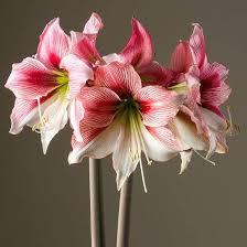 amaryllis bulb amaryllis bulbs dresse club