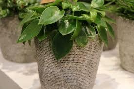 hängepflanzen fürs zimmer 22 hängende zimmerpflanzen