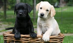 House Dogs That Dont Shed by Low Maintenance Dogs Top 15 Low Maintenance Dogs