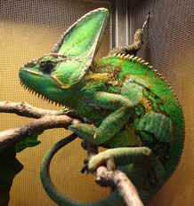 Basking Lamp For Chameleon by Successful Keeping Of Veiled Chameleons