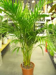 golden palm in pots areca palm butterfly palm dypsis lutescens