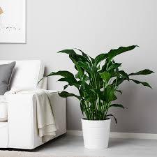 spathiphyllum pflanze einblatt 24 cm ikea schweiz