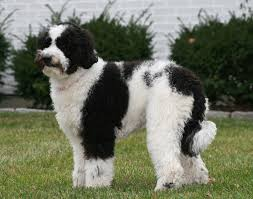 Small Non Shedding Dogs Australia by Australian Labradoodle Breed Information And Pictures On