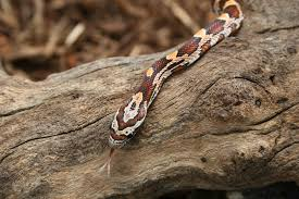 Corn Snake Shedding Too Often by Top 5 Easiest Classroom Pets That Pet Blog