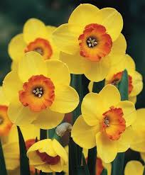 962 best bulbs images on daffodils tulips flowers and