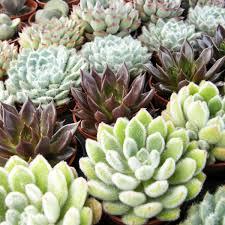 entretien plante grasse d interieur plante succulente entretien photos de conception de maison
