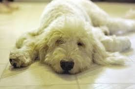 Small Non Shedding Dogs Australia by The Heartbreaking Truth About Those Cute Doodle Dogs Alternet