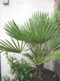 palmiers les 2 variétés les plus rustiques au gel