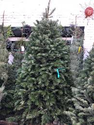 Nordmann Fir Christmas Trees Wholesale by Christmas Trees The Plant Foundry