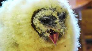 Ashy Faced Barn Owl Chick At Screech Owl Sanctuary - YouTube White Screech Owl Illustration Lachina Bbc Two Autumnwatch Sleepy Barn Owl Yoga Bird Feeder Feast And Barn Wikipedia Attractions In Cornwall Sanctuary Wishart Studios Red Eastern By Ryangallagherart On Deviantart Owlingcom Biology Birding Buddies 2000 Best 2 Especially Images Pinterest Screeching Youtube