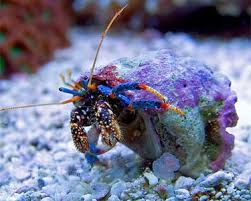 Do Hermit Crabs Shed Legs by Saltwater Aquarium Crabs Ocean Crabs Marine Aquarium Crabs