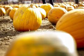 Colorado Pumpkin Patch by Denver Pumpkin Patches Corn Mazes Haunted Houses And More