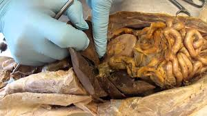 cat digestive system g s c cat dissection organs digestive system and