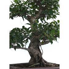 pot bonsai grande taille achat en ligne bonsai ficus retusa 70 cm 170104 sankaly bonsaï