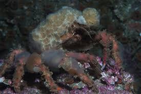 decorator crabs eat fish decorator crab