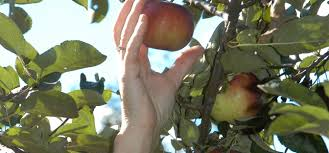 Certified Organic Apples & Products - Blue Heron Orchard Illinois Department Of Agriculture The Barn At Gibbet Hill Spartan Valley Olive Oil Welcome To Curtis Orchard Pumpkin Patch Blog Comments Patches Apple Orchards Lake Pointe Grill Springfield Menu Prices Restaurant Reviews Pricing Bomkes Baymont Inn Suites Updated 2017 Hotel
