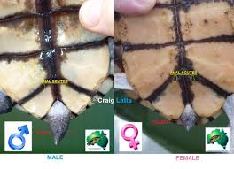 Turtle Shell Not Shedding by Shedding Long Neck Australian Freshwater Turtles