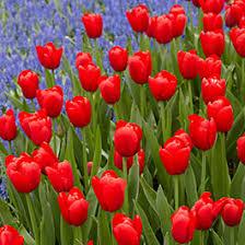 tulip flower bulbs tulipa american
