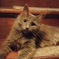 Do Maine Coons Shed In The Summer by Question About Mc Hair And Faces Maine Coon Chat Maine Coon