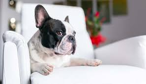 Top Dogs That Dont Shed Hair by 21 Best Apartment Dogs For Any Owner U2013 Nextgen Dog