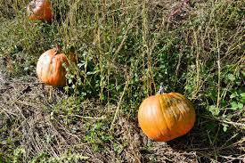 Pumpkin Patch Massachusetts by Best Of Mass Pumpkin Patches Top 5 Rankings Winner Announced
