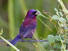 varied bunting identification all about birds cornell lab of