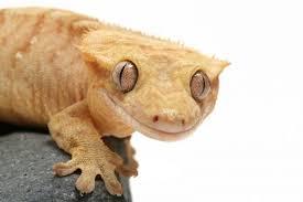 Crested Gecko Shedding Behavior by Crested Gecko Care Sheet And Interesting Information Animals U003c3