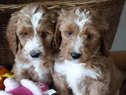 No Shed Dogs Illinois by Springerdoodle Facts Shelby Goldendoodles Goldendoodle