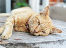 fatty liver disease in cats petmd