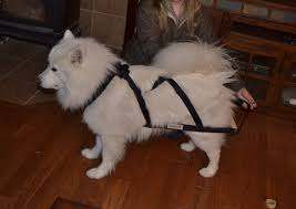 Do Samoyed Dogs Shed Hair by Can My Fellow Sammy Owners Help Me Determine What If Anything My