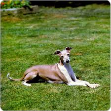 Do Italian Greyhounds Shed A Lot by Italian Greyhound Dog Breeds Purina Australia