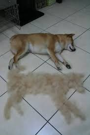 so it s not just my dogs shibas do shed enough for another dog