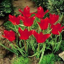 buy your tulip tulipa flower bulbs direct from the fields