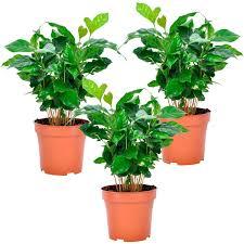 kaffeepflanze 3er set höhe ca 25 30 cm topf ø ca 12 cm coffea arabica