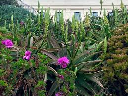 Aloe And Jade Plants Stand In Contrast To The Foreboding Walls Of A Cell Block On Alcatraz Island San Francisco Bay Rebecca Powers FTWP