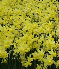 the best time to plant daffodil bulbs is in september october