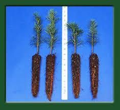 Nordmann Fir Christmas Tree Seedlings by Kintigh U0027s Mountain Home Ranch Top Quality Turkish Fir Seedlings