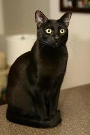 bombay cats bombay cat breed information