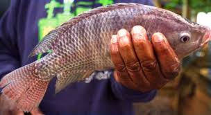 A Guide To Grow Tilapia Fish For Starting Small Scale Business