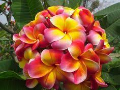 Here s a fragrant ixora from Nani Mau Gardens on Hawaii the Big