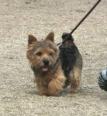 cairn terrier shed hair 45 best norwich terrier images on norwich terrier