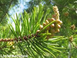 100 Le Pines Lodgepole Pine
