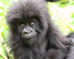 Mountain Gorilla Craig R Sholley