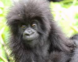 Mountain Gorilla Craig R Sholley