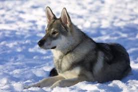 Small Dogs That Dont Shed Uk by The Best Seven Dogs That Look Like Wolves Pethelpful