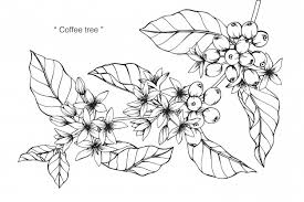 Coffee Flower Drawing Illustration Premium Vector